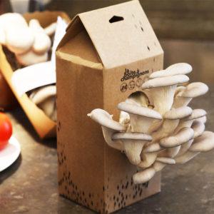 Kit de champignons pleurotes